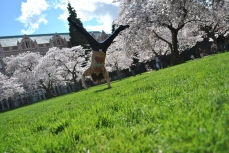 cartwheel in front of cherry blossoms